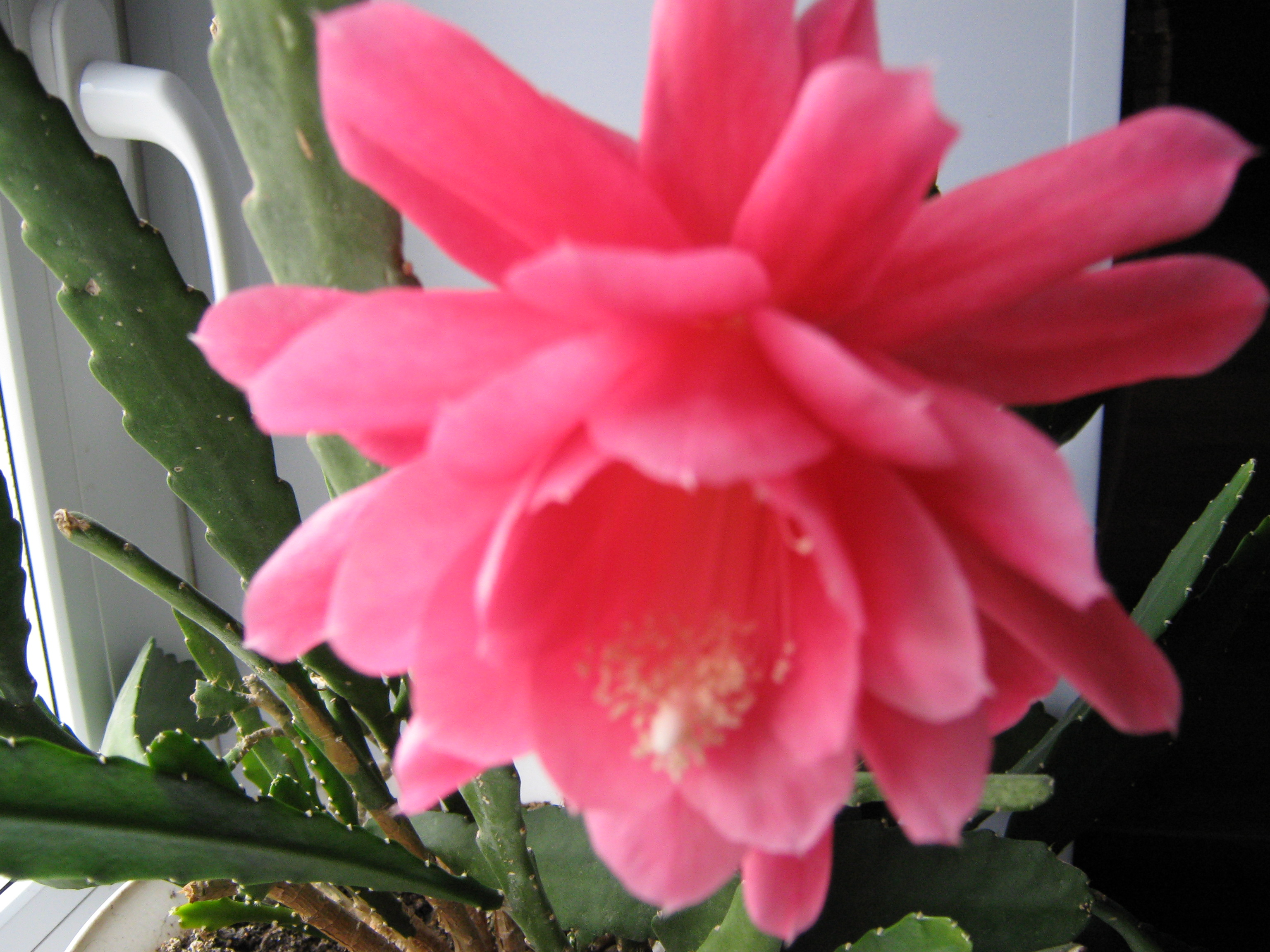 кактусы  и название эпифиллум