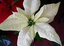 Пуансеттия белая