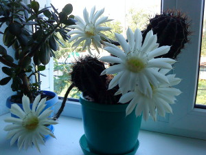 ABCD0001Кактус с белыми цветами